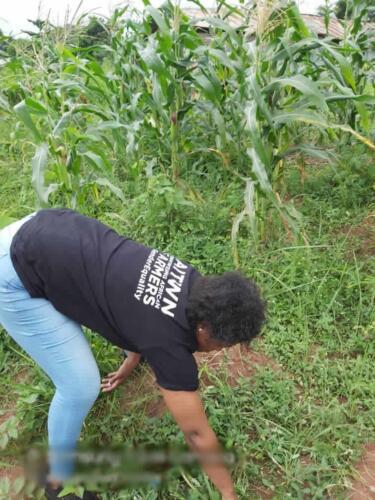 aitwn official visits the maize farm 1