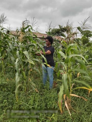 aitwn official visits the maize farm 2